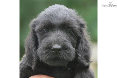 List Of Medium Non Shedding Dogs by Medium Non Shedding Dogs Breeds Picture