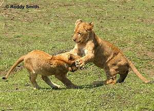 lion cubs playing | My HD Animals