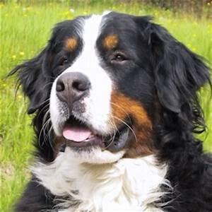 Berner Sennenhund Gewicht : berner sennenhund charakter ern hrung gesundheit ~ Markanthonyermac.com Haus und Dekorationen