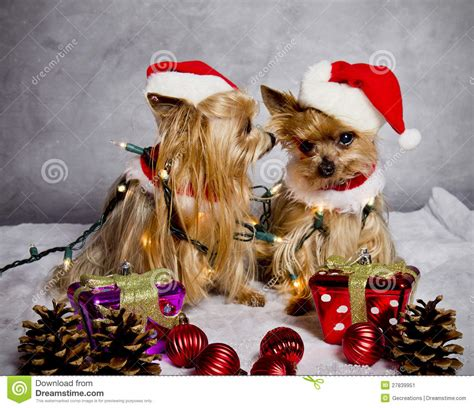 Terrier Dressed As Santa Claus Stock Photo Terrier Dogs Stock Image Image 27839951