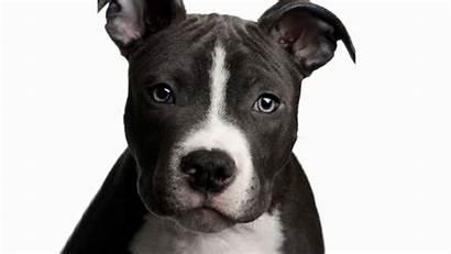 Pitbull Nose Wallpapers