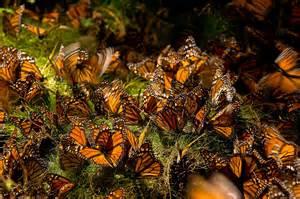 Mariposa Monarca En Michoacan Mexico