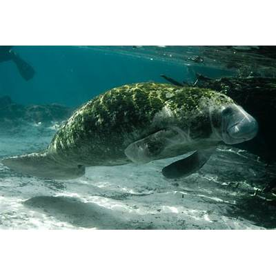 5 Interesting Facts About West Indian ManateesHayden's