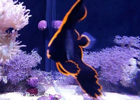 batfish  saltwater aquarium bat fish marine batfish