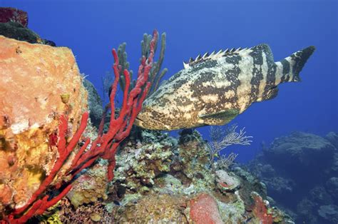 grouper goliath groupers fish protecting diver scubadiverlife