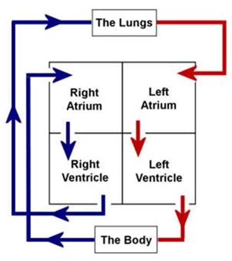 blood flow  cardiovascular system