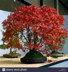 Bonsai - Acer rubrum Red Maple BON000192 Stock Photo ...