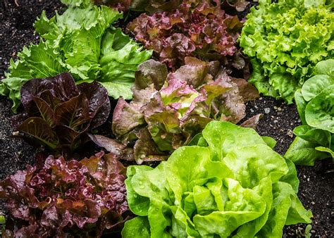Garden Types :  Planting, Growing, And Harvesting Lettuce
