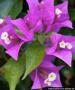 Bougainvillea Blüht Nicht : drillingsblume bougainvillea glabra balkonpflanzen pflege ~ Lizthompson.info Haus und Dekorationen