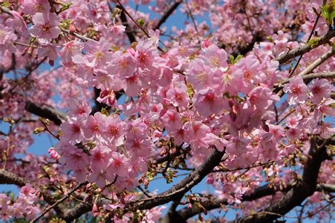 Résultat d'images pour sakura free