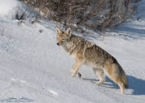 Coyote Snow-Covered