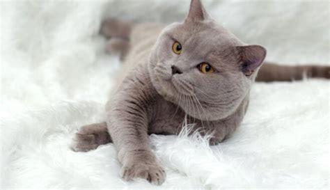Britu īsspalvainais kaķis, iemīļotais skaistulis
