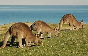 Kangaroo Facts