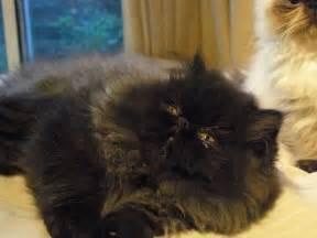Black Persian Cat Kitten