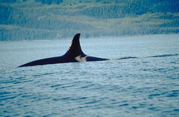 whale watching season sanjuansufficiencycom