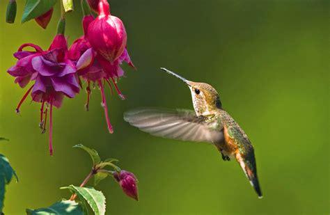 humming bird plants how to prune fuchsias the garden of eaden