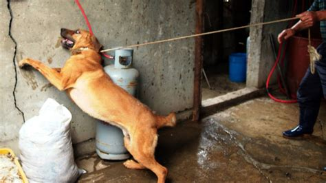 petition stop  brutal bok nal dog eating days