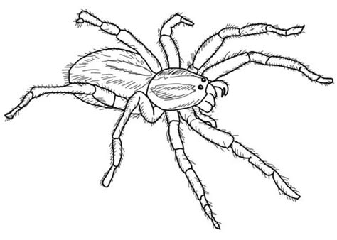 carolina wolf spider coloring page  printable coloring pages