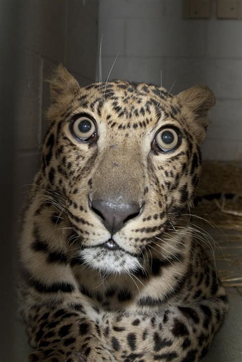 ohio animals zanesville zoo columbus released exotic owner aquarium killed happened there reuters rescued leopard pictured loose remains decided them