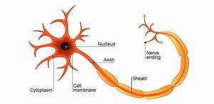 Nerve Cell Diagram Labeled - ClipArt Best