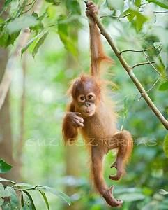 Baby Animal Photography, CUTE BABY ORANGUTAN Photo, 8 X 10 ...