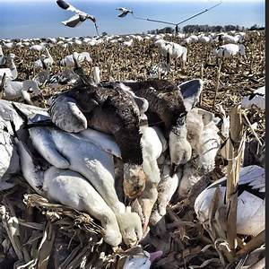 First Flight Finishers Decoy Spreads  Spring Snow Goose