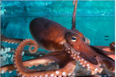 octopi optopuses and octopodes facts ask my brain