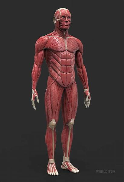 Anatomy Human Artstation Artwork