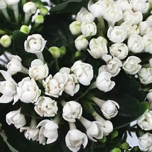 Bouvardia White Flower