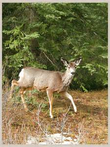 Deer in the Wild Pictures to Print