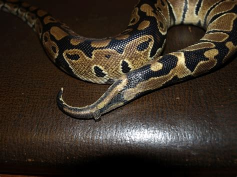 miv news hobbies python shedding