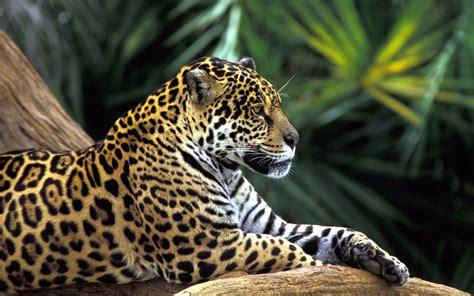 onca pintada na floresta amazonica brasil jaguar