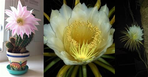 plants that bloom once a year cactus flowers once a year 4 171 twistedsifter