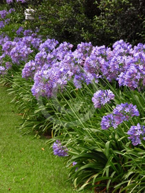 of nile flower agapanthus praecox lily of the nile blue african lily information photos