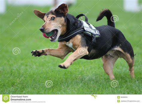 jumping dog royalty  stock photo image
