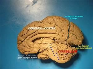 Neur 3005 Week 6 Anatomy Flashcards