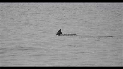Shark Shallow Water