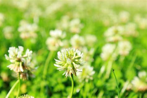Was Hilft Gegen Klee Im Rasen 5601 by Klee Im Rasen Entfernen Was Hilft Wirklich