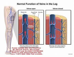 Anatomy Of A Vein