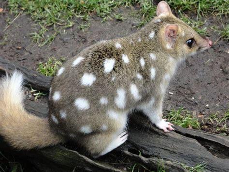 spotted quoll tasmania tasmanian native cat animals