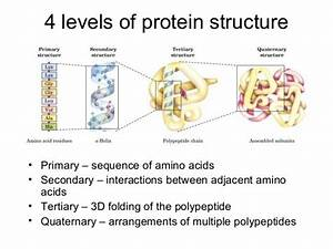 4 Levels Of Protein Structure  U2022 Primary  U2013 Sequence Of