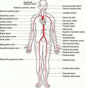 Full Human Body Diagram  With Images