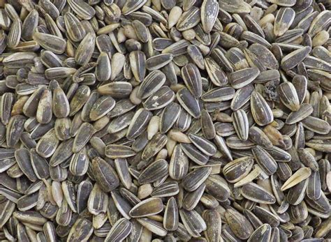 striped black sunflower seeds twootzcom