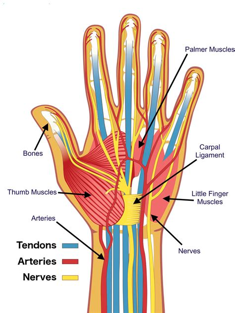 Anatomy Of Nerves In Hand Annahamiltonme
