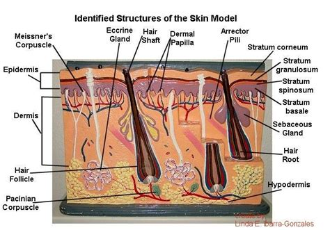 skin model labeled bing images skin model dermis