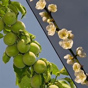 Shiro Kaga Apricot Tree - Ison's Nursery & Vineyard