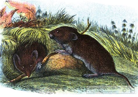 vols animal illustrations clipart field vole animal classroom clipart