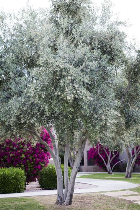 fruitless olive trees for sale olive tree olea europaea trees we love pinterest trees olives and plants