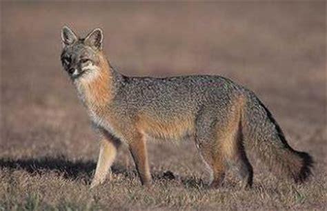 grey fox facts history  information  amazing