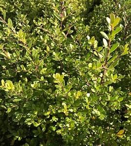 Ilex Crenata Krankheiten : ilex crenata 39 dark green 39 japanse hulst kopen mar chal ~ Orissabook.com Haus und Dekorationen